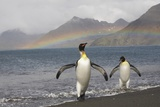 Rainbow and King Penguins on South Georgia Island Photographic Print