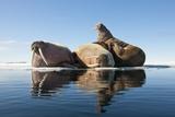 Walrus, Svalbard, Norway Photographic Print