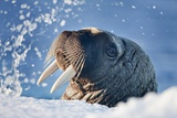 Walrus, Svalbard, Norway Photographic Print