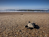 Hatchling Sea Turtle Heads to the Ocean Photographic Print