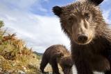 Brown Bear Cubs, Katmai National Park, Alaska Lámina fotográfica