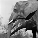 London Zoo, Regents Park, Westminster, London, Elephants in London Zoo Photographic Print by John Gay