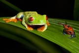 Rainforest Frogs in Costa Rica Photographic Print