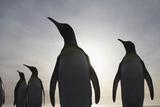 King Penguins on South Georgia Island Fotografisk tryk