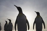 King Penguins on South Georgia Island Photographic Print