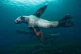 Swimming Steller Sea Lions Photographic Print