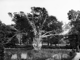 Aldworth, Berkshire, the Old Yew Tree in the Churchyard Photographic Print by Henry Taunt