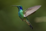Hummingbird, Costa Rica Photographic Print