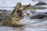 Nile Crocodiles Feeding on Wildebeest Kill Photographic Print