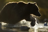 Fishing Brown Bear, Katmai National Park, Alaska Photographic Print