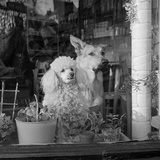 A White Poodle and a German Shepherd Dog Sitting Looking Out of the Window of a Café Photographic Print by John Gay
