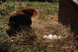 Chicken Looking at Nest of Eggs Photographic Print