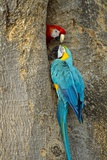 Blue and Gold Macaw with Scarlet Macaw, Costa Rica Stampa fotografica