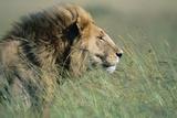 Male Lion Resting in Grass Fotografie-Druck