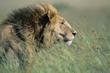 Male Lion Resting in Grass Photographic Print