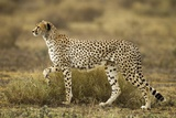 Cheetah at Ngorongoro Conservation Area, Tanzania Photographic Print