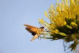Hummingbird Hawk Moth, Baja, Mexico Photographic Print