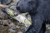 Black Bear and Chum Salmon in Alaska Photographic Print