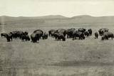 Herd of Buffalo Grazing Photographic Print