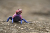 Red Headed Agama Lizard in Serengeti National Park, Tanzania Photographic Print