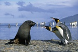 King Penguins Protecting their Territory Photographic Print