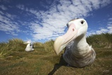 Wandering Albatross on South Georgia Island Photographic Print