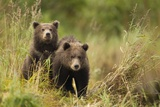 Brown Bear Cubs, Katmai National Park, Alaska Photographic Print