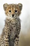 Cheetah Cub Fotografisk tryk