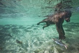 Underwater Brown Bear, Katmai National Park, Alaska Reproduction photographique