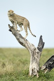 Cheetah at Ngorongoro Conservation Area, Tanzania Photographic Print