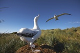 Wandering Albatrosses on South Georgia Island Photographie