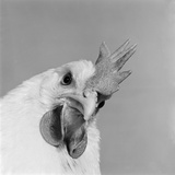 Close Up View of a Hen's Head Photographic Print by John Gay