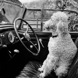 View of a Car Showing a Poodle, Probably Called Baker White, Sitting in the Driver's Seat Photographic Print by John Gay