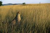 Cheetah Sitting in Tall Grass Photographic Print