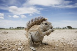 Cape Ground Squirrel in Etosha National Park Photographic Print