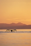 Humpback Whale Surfacing at Sunset Photographic Print