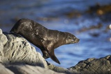 New Zealand Fur Seal Photographic Print