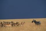 Herd of Impala Facing a Zebra on Savanna Fotografisk tryk