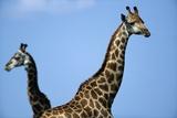 Two Giraffes under Blue Sky Photographic Print