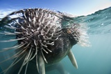 Walrus Swimming Photographic Print