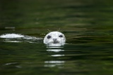 Harbor Seal, British Columbia, Canada Photographic Print