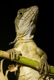 Jesus Lizard, Costa Rica Photographic Print
