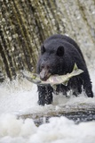 Black Bear Catching Spawning Salmon in Alaska Fotografisk tryk