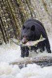 Black Bear Catching Spawning Salmon in Alaska Photographic Print