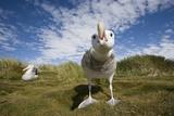 Wandering Albatrosses Photographic Print