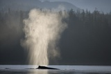 Humpback Whale Spouting in Frederick Sound at Dawn Photographic Print