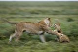 Lions Playing Photographic Print