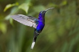 Hummingbird, Costa Rica Papier Photo