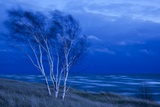 Birch Trees Along Lake Michigan at Dusk Photographic Print