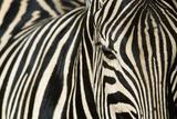 Burchell's Zebra Fotografie-Druck